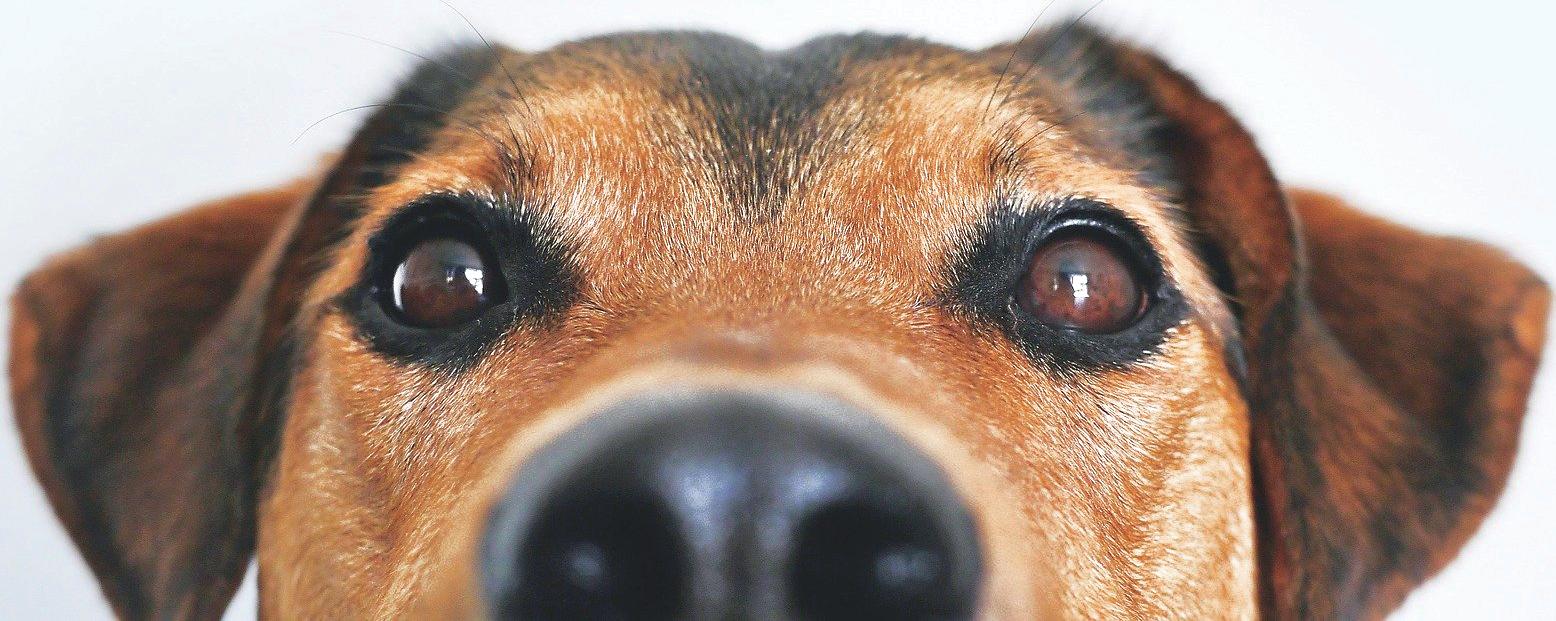 animapattes-regard-chien